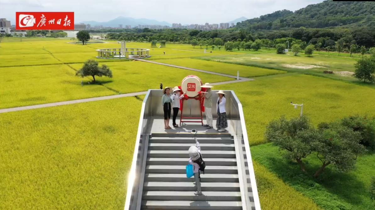 丰收了!广州日报联合艾米稻香小镇开展丰收直播